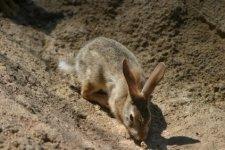 Rabbit in the Bush
