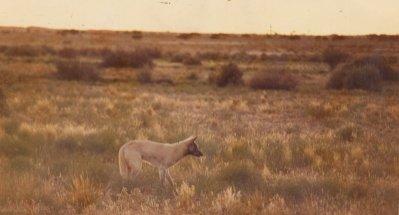 A Dingo In The Bush
