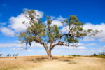 Coolibah Tree