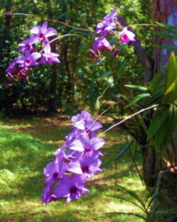 Cooktown Orchid