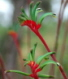 Red and Green Kangaroo Paw