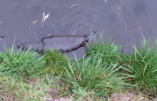Platypus in River