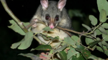 Brushtail Possum in Tree
