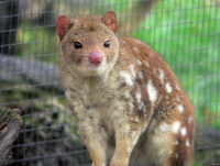 The Quoll