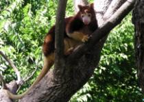Post Thumbnail of Древесные кенгуру