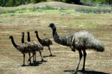 Emu and Chicks