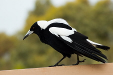 White-backed Magpie