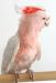 major mitchel cockatoo