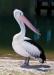 australian birds-pelicans