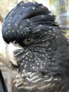 Female Red Tailed Black Cockatoo
