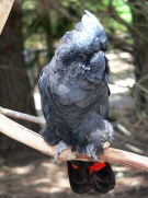 Male Red Tailed Black Cockatoo