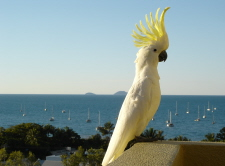 Sulphur-crested Cockatoo crest up