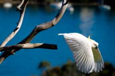 Sulphur-crested Cockatoo flying