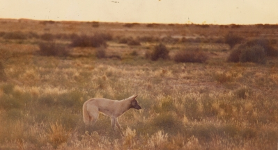 A Dingo In The Bush