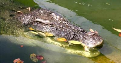 Crocodile in the Kimberleys Western Australia
