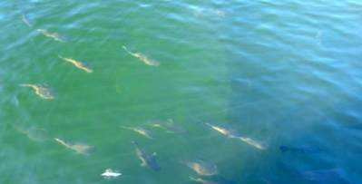 Fish - Manbana Hatchery Broome Western Australia