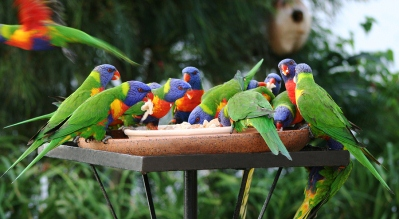 Colourful Lorikeets Feeding