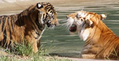 Tigers at Tiger Island Dreamworld
