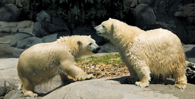 Seaworld Polar Bears - © 2011 and TM Sea World Property Trust