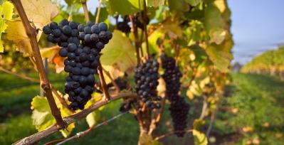 Pinot Noir Grapes Grown in Tasmania
