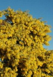 The Golden Wattle