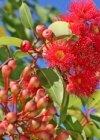 Gum Tree Flowers