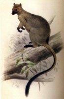 Bennett's Tree Kangaroo