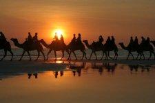 Australian Camels