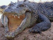 Large Saltwater Crocodile