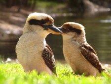 Kookaburra's