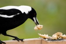 The White-backed Magpie