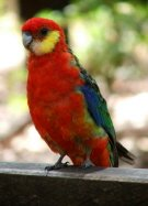 The Western Rosella