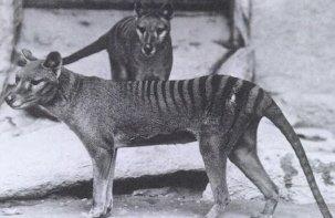 Thylacines (Tasmanian Tigers)